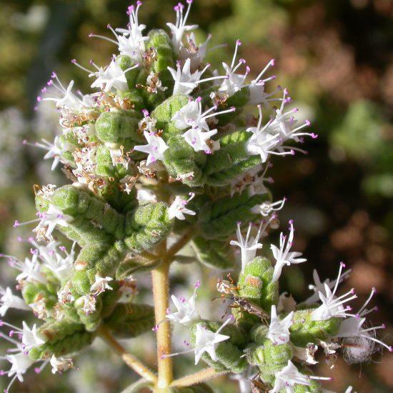 p19 - Origanum syriacum L.