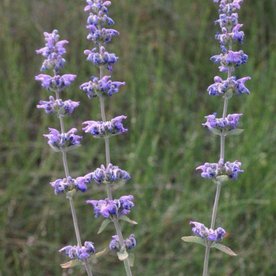 p20 - Nepeta-curviflora-1-zoom