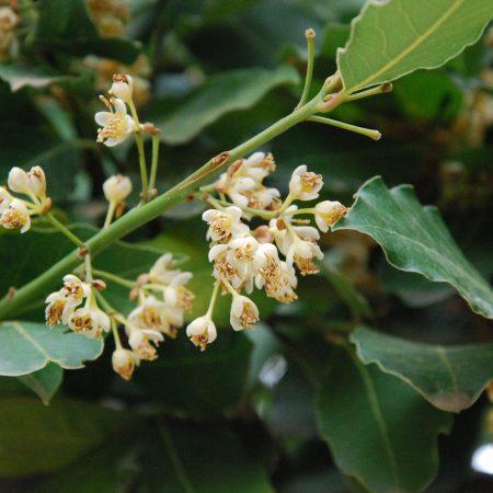 p30 - Laurus nobilis flowers