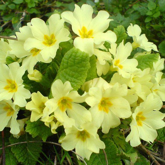 p34 - Primula vulgaris Huds.