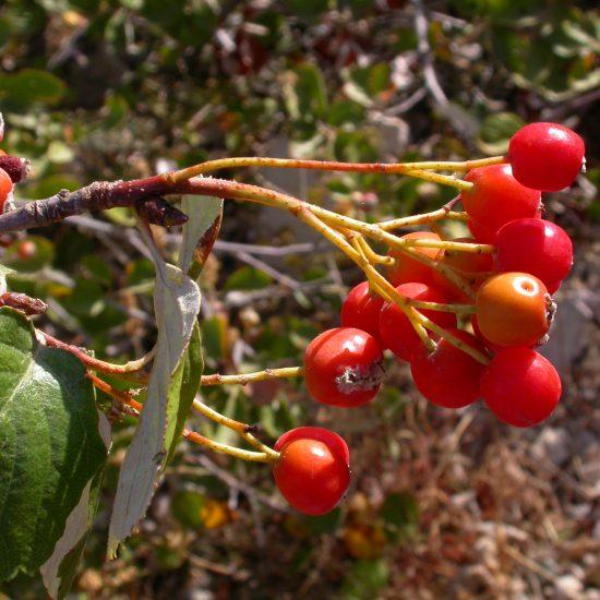 p35 - Sorbus flabellifolia (Spach) S.Schauer